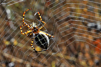 Argiope Trifasciata Banded Orb-Weaver