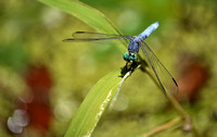 Male Blue Dasher