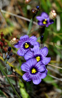 Western Blue-eyed Grass