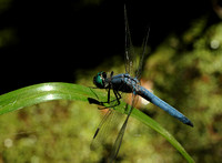 Blue-Eyed Dasher