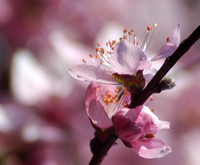Purple Leaf Plum Blossoms
