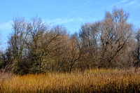 Winterized Cattails