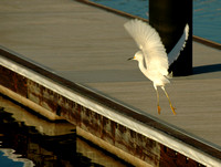 Local Egret Fishing for Shad