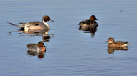 Odd Couples - Pintails and GW Teals
