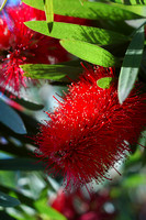 Lemon Bottle Brush