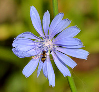 Hover Fly on Chickory